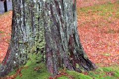 Βρύο λειχήνων στον κορμό δέντρων και στο έδαφος με τα φύλλα φθινοπώρου που συσσωρεύονται γύρω Στοκ φωτογραφία με δικαίωμα ελεύθερης χρήσης