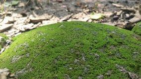 Βρύο πράσινο στο βράχο Stone με το πράσινο MOS Πράσινο υπόβαθρο MOS στοκ εικόνα