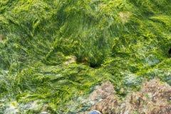 Βρύο σε έναν βράχο Στοκ Φωτογραφίες