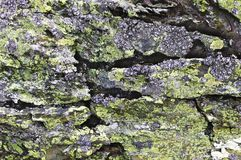 Βρύο σε έναν γκρίζο βράχο στοκ εικόνα με δικαίωμα ελεύθερης χρήσης