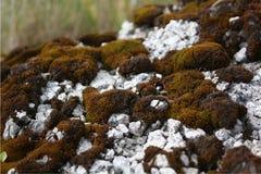 Βρύο στην άσπρη πέτρα Στοκ Εικόνες