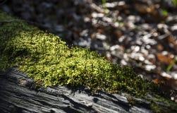 Βρύο στο δάσος Στοκ φωτογραφία με δικαίωμα ελεύθερης χρήσης