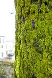 Βρύο στο δέντρο Στοκ Εικόνες