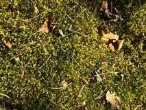 Βρύο στο δάσος με τα παλαιά φύλλα ηλιόλουστα Στοκ Εικόνες