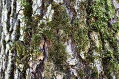Βρύο στο δέντρο Στοκ φωτογραφίες με δικαίωμα ελεύθερης χρήσης