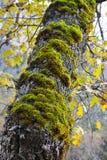 Βρύο στο δρύινο δέντρο Στοκ Εικόνες
