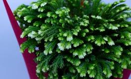 Βρύο Selaginella στοκ φωτογραφίες