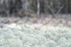 Βρύο, sphagnum, μακροεντολή στενή Στοκ Εικόνα