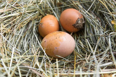 Βρώμικα αυγά στο σανό Στοκ εικόνα με δικαίωμα ελεύθερης χρήσης
