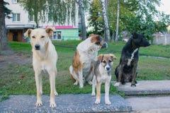 Βρώμικα περιπλανώμενα σκυλιά που στέκονται στον ανώμαλο δρόμο και που ανατρέχουν στη κάμερα Στοκ Εικόνες