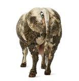 Βρώμικη έγκυος βελγική μπλε αγελάδα, που απομονώνεται Στοκ Εικόνες