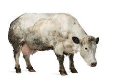 Βρώμικη έγκυος βελγική μπλε αγελάδα, που απομονώνεται Στοκ φωτογραφία με δικαίωμα ελεύθερης χρήσης
