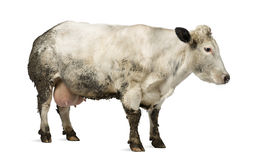 Βρώμικη έγκυος βελγική μπλε αγελάδα, που απομονώνεται Στοκ εικόνα με δικαίωμα ελεύθερης χρήσης