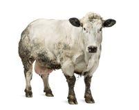Βρώμικη έγκυος βελγική μπλε αγελάδα, που απομονώνεται Στοκ Φωτογραφίες
