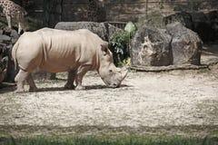 βρώμικος ρινόκερος Στοκ Εικόνες