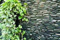 βρώμικος τοίχος κισσών s δ&io Στοκ εικόνα με δικαίωμα ελεύθερης χρήσης