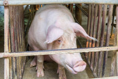 Βρώμικος χοίρος σε ένα κλουβί Στοκ εικόνες με δικαίωμα ελεύθερης χρήσης