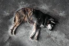 Βρώμικος ύπνος περιπλανώμενων σκυλιών στο τσιμεντένιο πάτωμα Στοκ Φωτογραφία