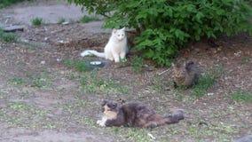 Βρώμικο βίντεο γατών οδών τρία υπαίθρια απόθεμα βίντεο