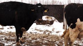 Βρώμικο γραπτό πέρασμα αγελάδων από τη κάμερα στις διαφορετικές κατευθύνσεις απόθεμα βίντεο