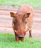 βρώμικο θηλυκό warthog Στοκ Φωτογραφία