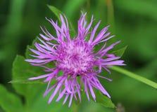 Βρώμικο scabiosa Centaurea Cornflower στοκ φωτογραφία με δικαίωμα ελεύθερης χρήσης