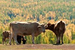 βόδι Στοκ φωτογραφία με δικαίωμα ελεύθερης χρήσης