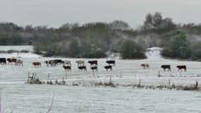 Βόειο κρέας αγελάδων ζωικού κεφαλαίου βοοειδών απόθεμα βίντεο