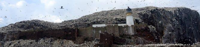 Βόρεια αποικία gannet γύρω από το φάρο, βαθύς βράχος, Scotlan Στοκ Εικόνα