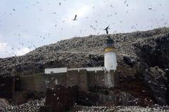 Βόρεια αποικία gannet γύρω από το φάρο, βαθύς βράχος, Scotlan Στοκ Φωτογραφία