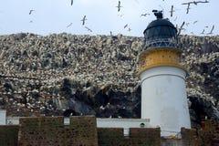 Βόρεια αποικία gannet γύρω από το φάρο, βαθύς βράχος, Scotlan Στοκ Εικόνες