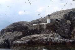 Βόρεια αποικία gannet γύρω από το φάρο, βαθύς βράχος, Scotlan Στοκ εικόνες με δικαίωμα ελεύθερης χρήσης