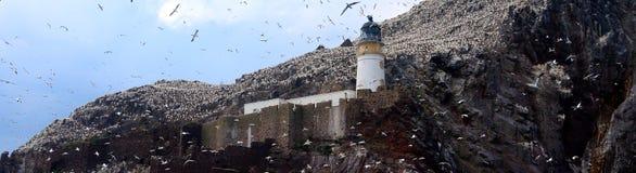 Βόρεια αποικία gannet γύρω από το φάρο, βαθύς βράχος, Scotlan Στοκ Φωτογραφίες
