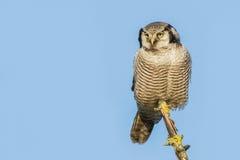 Βόρεια γεράκι-κουκουβάγια στοκ φωτογραφίες με δικαίωμα ελεύθερης χρήσης