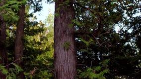 Βόρεια δασικά δέντρα μια τέλεια θερινή ημέρα πριν από το ηλιοβασίλεμα απόθεμα βίντεο
