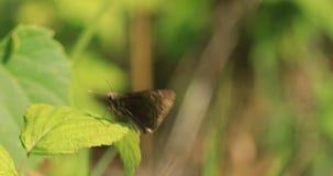 Βόρεια σπάζω-εξόρμηση, Wallengrenia egeremet, στήριξη πεταλούδων 4K απόθεμα βίντεο