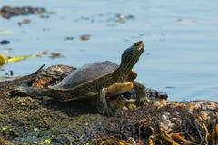 Βόρεια χελώνα χαρτών Στοκ Εικόνα