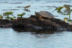 Βόρεια χελώνα χαρτών Στοκ φωτογραφία με δικαίωμα ελεύθερης χρήσης