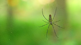 Βόρεια χρυσή αράχνη υφαντών σφαιρών ή γιγαντιαίος χρυσός υφαντής σφαιρών απόθεμα βίντεο