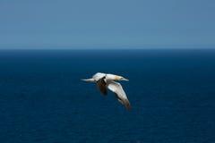 Βόρεια gannets Στοκ Φωτογραφία