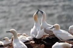 Βόρεια gannets, Helgoland, Γερμανία Στοκ Φωτογραφία