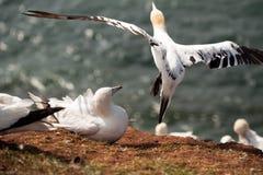 Βόρεια gannets, Helgoland, Γερμανία Στοκ εικόνα με δικαίωμα ελεύθερης χρήσης