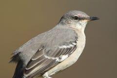 Βόρεια polyglottos Mockingbird Mimus Στοκ φωτογραφίες με δικαίωμα ελεύθερης χρήσης