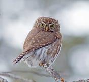 Βόρεια pygmy-κουκουβάγια Στοκ Εικόνες