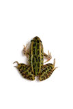 Βόρειος βάτραχος λεοπαρδάλεων (Lithobates pipiens) στοκ φωτογραφία