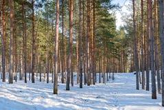 Βόρειος εσθονικός δασικός χειμώνας πεύκο-δέντρων lanscape Στοκ Φωτογραφία