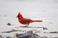 Βόρειος καρδινάλιος στην παραλία στοκ φωτογραφία με δικαίωμα ελεύθερης χρήσης