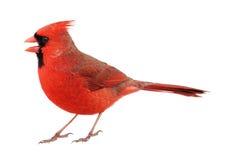 Βόρειος καρδινάλιος, cardinalis Cardinalis, που απομονώνονται Στοκ Εικόνες