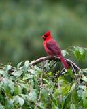 Βόρειος κόκκινος καρδινάλιος Στοκ εικόνα με δικαίωμα ελεύθερης χρήσης
