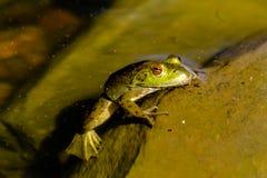 Βόρειος πράσινος βάτραχος στο νερό Στοκ Εικόνες